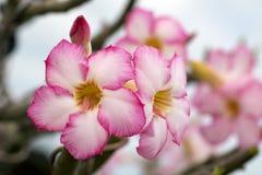 Bild einer schönen rosa Azalee blüht im Garten Stockbilder