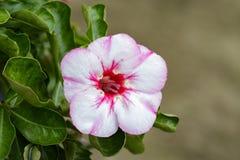 Bild einer schönen rosa Azalee blüht im Garten Lizenzfreie Stockfotos