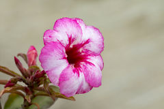 Bild einer schönen rosa Azalee blüht im Garten Lizenzfreies Stockbild