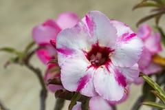 Bild einer schönen rosa Azalee blüht im Garten Lizenzfreies Stockfoto