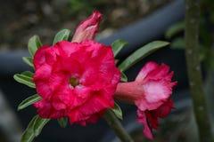 Bild einer schönen roten Azalee blüht im Garten Stockbild
