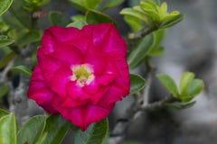 Bild einer schönen roten Azalee blüht im Garten Stockfotos