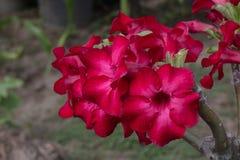 Bild einer schönen roten Azalee blüht im Garten Stockbilder