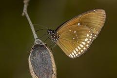 Bild einer Schmetterling gemeinen indischen Krähe auf Naturhintergrund Lizenzfreie Stockfotos