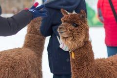 Bild einer touristischen wellenartig bewegenden Hand zu einem braunen Alpaka lizenzfreie stockfotografie