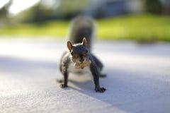 Bild eines Eichhörnchens mit einer Nuss in seinem Mund Stockfotografie