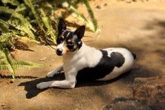 Foxterrier in Sun Lizenzfreies Stockbild