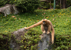 Bild eines Gibbons auf Naturhintergrund Wilde Tiere Lizenzfreie Stockfotos