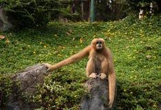 Bild eines Gibbons auf Naturhintergrund Wilde Tiere Lizenzfreies Stockfoto