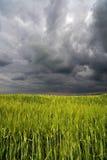 Bild eines grünen Weizenfeldes Lizenzfreies Stockfoto