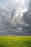 Bild eines grünen Weizenfeldes Stockfotos