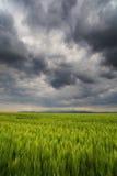 Bild eines grünen Weizenfeldes Lizenzfreie Stockfotografie