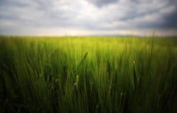 Bild eines grünen Weizenfeldes Lizenzfreie Stockbilder