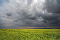 Bild eines grünen Weizenfeldes mit stürmischem Wolkenhintergrund Stockbild