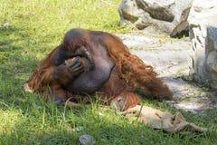 Bild eines großer männlicher Orang-Utan orange Affen auf dem Gras Lizenzfreie Stockfotografie