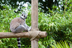 Bild eines lemurien maki catta Lizenzfreies Stockbild