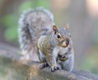 Bild eines lustigen Eichhörnchens, das in der Kamera schaut Lizenzfreie Stockbilder