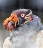Bild eines lustigen klaren Königsgeiers, der beiseite schaut Lizenzfreies Stockbild