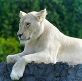 Bild eines lustigen weißen Löwes, der versucht nicht zu schlafen Stockbild