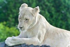 Bild eines lustigen weißen Löwes, der versucht nicht zu schlafen Stockfotografie