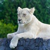 Bild eines lustigen weißen Löwes, der versucht nicht zu schlafen Stockfoto
