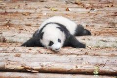 Bild eines netten Babys des großen Pandas Stockfoto