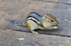 Bild eines netten lustigen Streifenhörnchens, das etwas isst Stockfotos