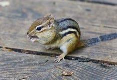 Bild eines netten lustigen Streifenhörnchens, das etwas isst Stockfoto