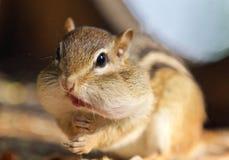 Bild eines netten lustigen Streifenhörnchens, das etwas isst Stockfotografie