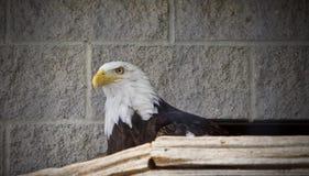 Bild eines nordamerikanischen Adlers, der beiseite schaut Stockfotos