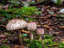 Bild eines Pilzes der wild lebenden Tiere Waldim wald von Bayern in Deutschland im Fall Lizenzfreie Stockfotografie