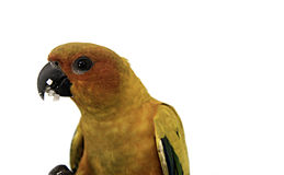 Bild eines schönen Papageien auf einem weißen Hintergrund Stockfoto