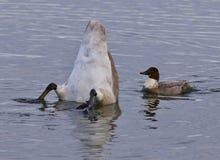 Bild eines Schwans umgedreht und der verrückten Ente Lizenzfreie Stockfotografie