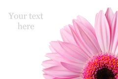 Bild eines Viertels eines Gerberagänseblümchens Stockbild