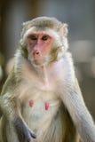 Bild eines weiblichen Affen auf Naturhintergrund Lizenzfreie Stockfotografie