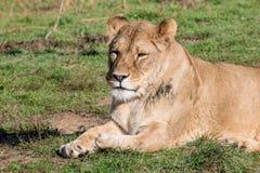 Bild eines weiblichen afrikanischen Löwes auf Naturhintergrund Wilder Anima Lizenzfreie Stockbilder