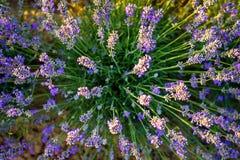 Bild för lavendelblomningbuske från ovanför 1 Arkivbilder