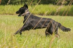 Bild Hundezucht Flach-überzogenen Retrievers lizenzfreies stockfoto