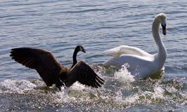 Bild med en Kanada gås som anfaller en svan på sjön arkivfoto