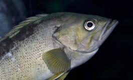 Bild mit einem Fisch, der in camera im Meer schaut Stockfoto
