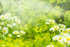 Bild mit wilden Blumen und Käfer Lizenzfreies Stockbild