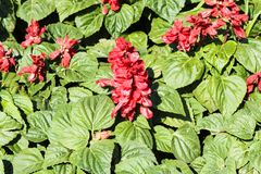 Bild röd blommasalvia, färgglat härligt i trädgård arkivfoto