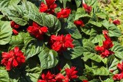 Bild röd blommasalvia, färgglat härligt i trädgård arkivbild
