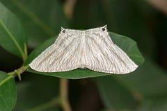 Bild spitzen aculeata Flatwing ButterflyMicronia Lizenzfreie Stockbilder
