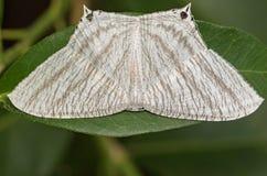 Bild spitzen aculeata Flatwing ButterflyMicronia Stockbild
