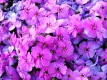 Bild voll der violetten Blumen Stockfotos