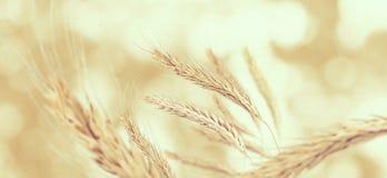 Bild von Ährchen des Weizens Stockfotos