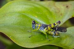 Bild von Affeheuschrecke Erianthus serratus Stockbild