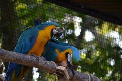 Bild von blauen Keilschwanzsittichpaaren Stockbild