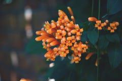 Bild von brightful orange tropischen Blumen Nahaufnahme der orange Trompete, Flammenblume, Feuer-Crackerrebe auf der Wand lizenzfreies stockfoto
